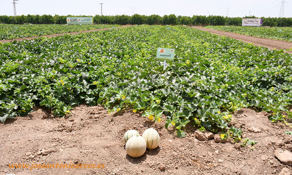 'Demo Days Melon & Watermelon Syngenta 2019' en el campo de Cartagena. /joseantonioarcos.es