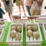 Melones resistentes a pulgón y a la última raza de oídio