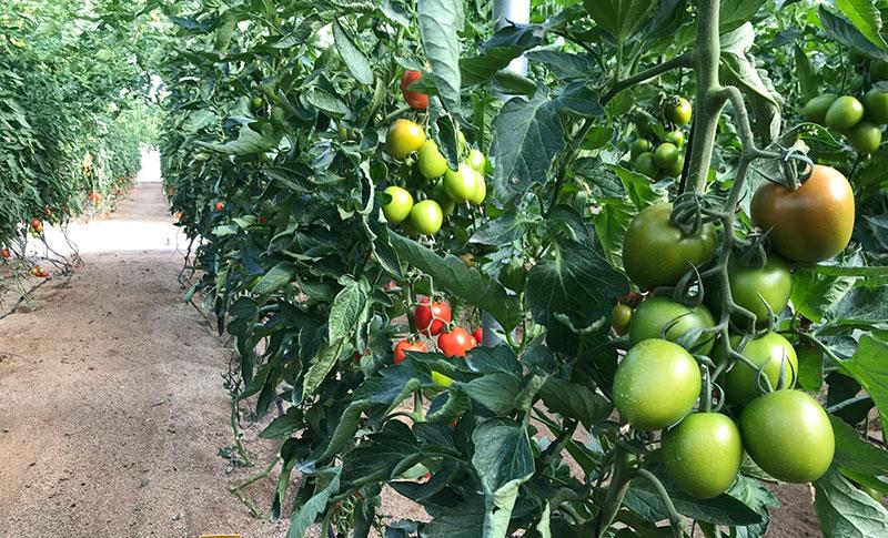 Ensayos realizados en tomate y calabacín en la finca de investigación de Tecnova avalan la eficacia de la tecnología XStress-joseantonioarcos.es