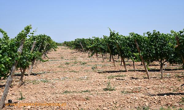 Campo de ensayos de la Estación de Viticultura y Enología de Navarra, EVENA de Olite. /joseantonioarcos.es