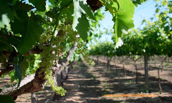 Ensayos de uva de mesa de Anecoop en su centro de investigación de Valencia. /joseantonioarcos.es