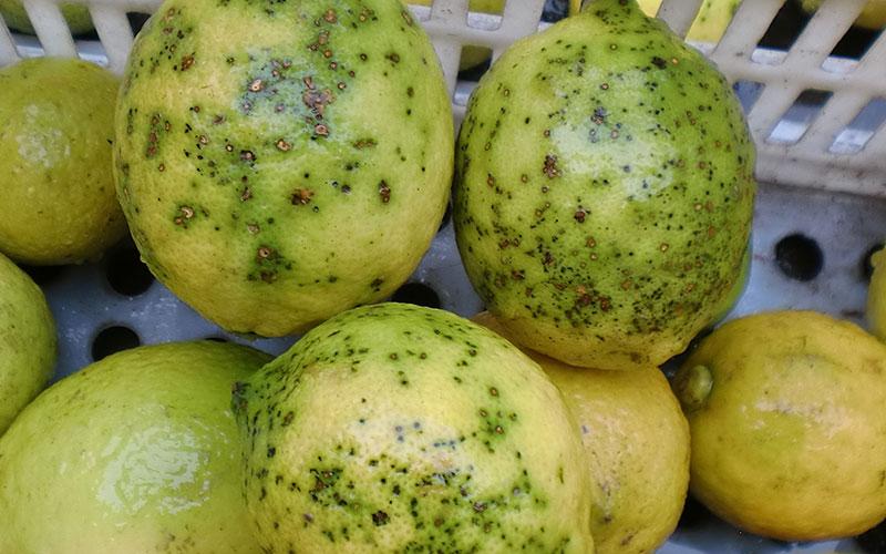 """Limones afectados por el patógeno de la """"mancha negra"""" o CBS. /joseantoniarcos.es"""