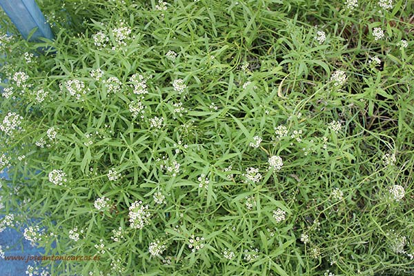 Plantas de lobularia. /joseantonioarcos.es