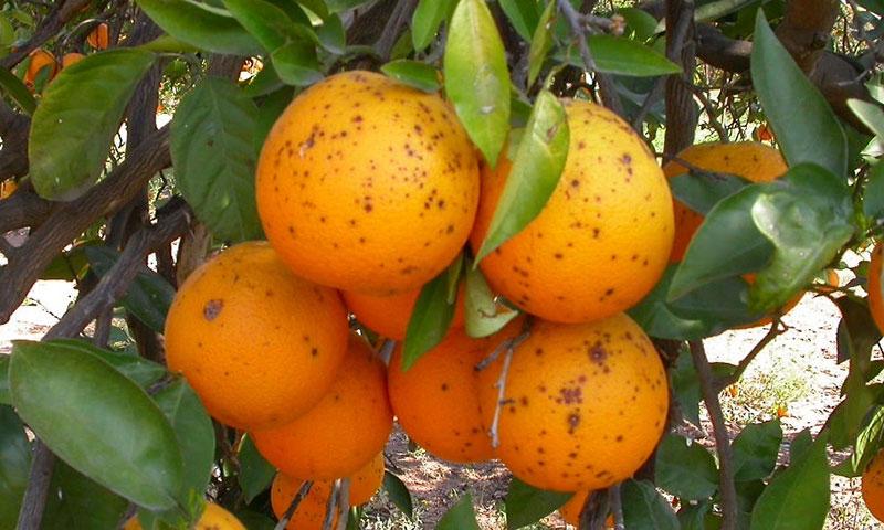 Naranjas afectadas por 'mancha negra'. /joseantonioarcos.es