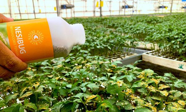 Koppert apuesta por la suelta manual de 'Nesi' en semillero-joseantonioarcos.es