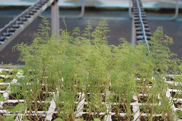 Plantas de salvia. /joseantonioarcos.es