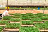 Koppert apuesta por la suelta manual de 'Nesi' en semillero