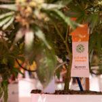 El control biológico en cannabis para uso medicinal