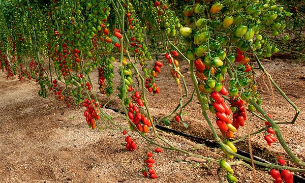 Tomate cherry con gran sabor de Semillas Fitó-joseantonioarcos.es