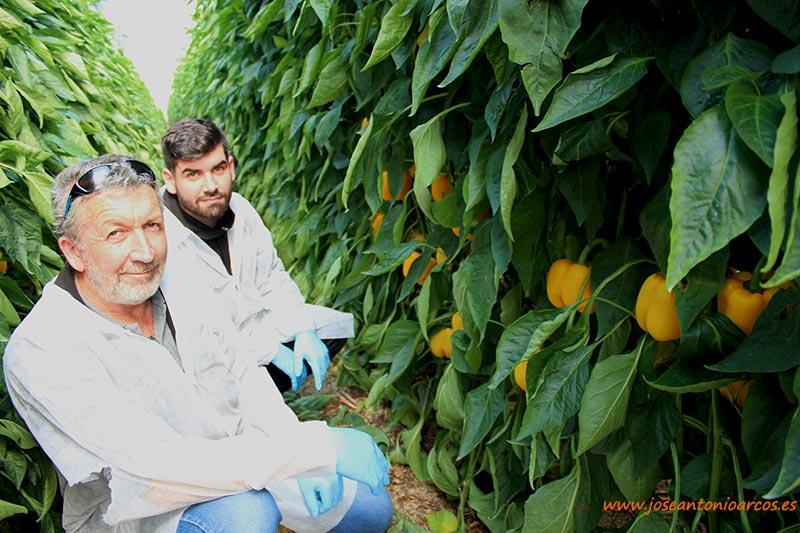 Juan Rodríguez, padre e hijo, productores de pimiento amarillo de Vícar. /joseantonioarcos.es