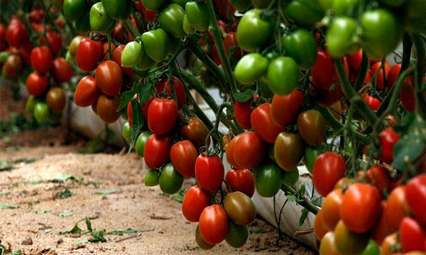 Tomate pera calibre G de Semillas Fitó-joseantonioarcos.es