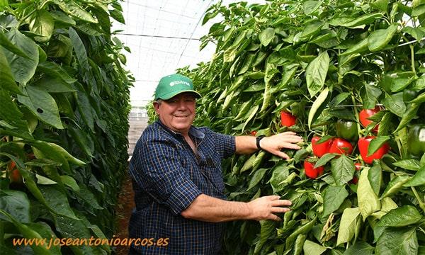 Bernardo Gutiérrez, de Dalías, también productor de pimiento california rojo Abraham de HM Clause-joseantonioarcos.es