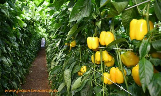 Variedad de pimiento amarillo Nadine de Vilmorin. /joseantonioarcos.es