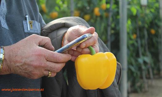 Pimiento california amarillo Insignia de Hazera. /joseantonioarcos.es