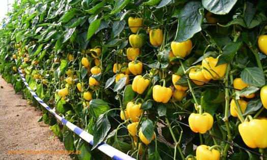 Pimiento california amarillo Kioto de Syngenta con resistencia a oidio y nematodos-joseantonioarcos.es