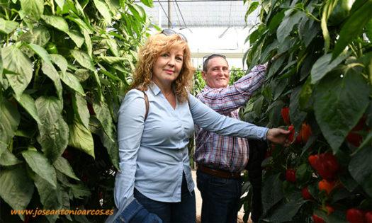 Pimiento california rojo Bokken en ecológico de Syngenta-joseantonioarcos.es