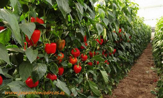 Pimiento california rojo Bokken de Syngenta-joseantonioarcos.es