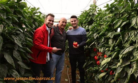 Cultivo de pimiento Mauricio, california rojo de Ramiro Arnedo-joseantonioarcos.es