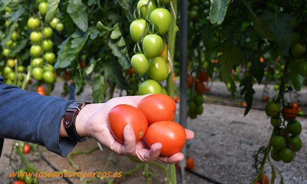 Tomate Atakama de Rijk Zwaan. /joseantonioarcos.es