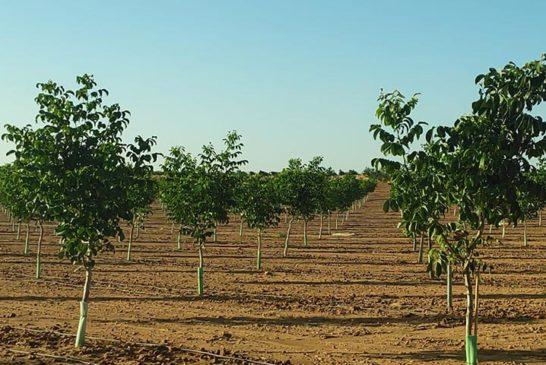 El nogal es el cultivo invitado este año en la feria de Don Benito