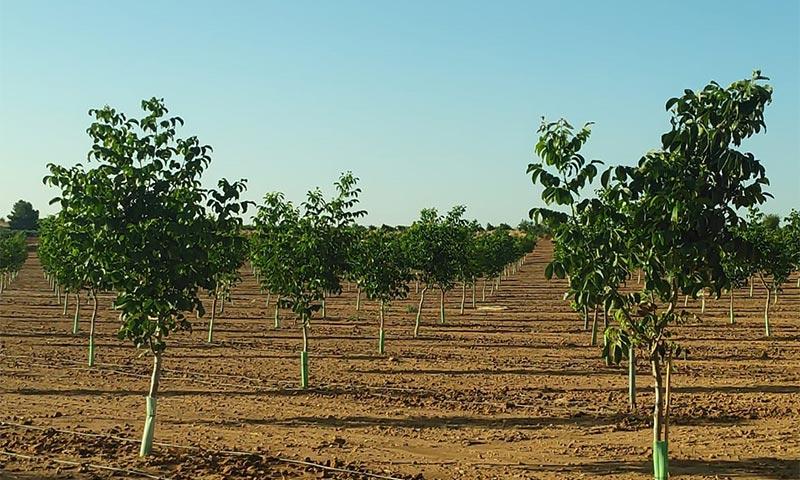 Cultivo de nogal. /joseantonioarcos.es