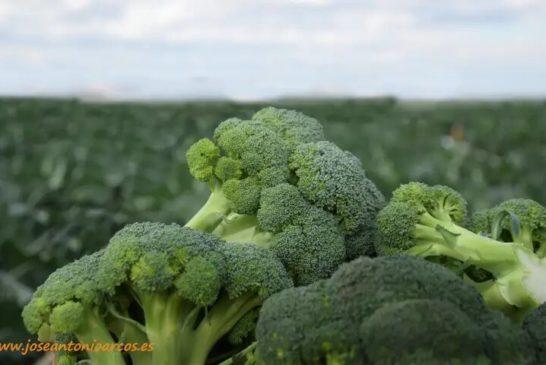 El sector del brócoli prevé crecer en 2020