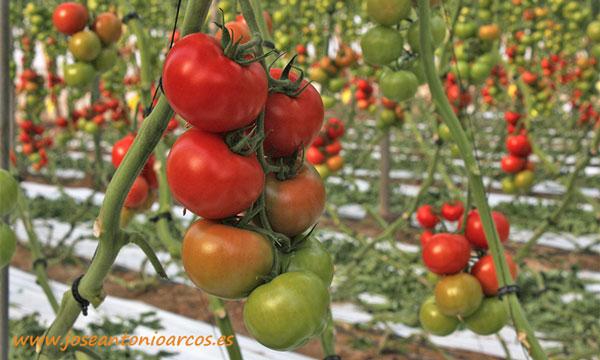 Tomate Ventero. /joseantonioarcos.es