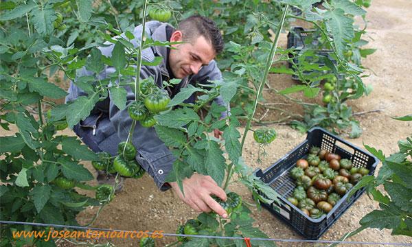 Tomate Adora en invernaderos de Almería. /joseantonioarcos.es