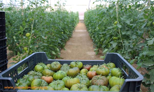 Tomate Adora. /joseantonioarcos.es