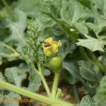 Primer avance de cosecha para la campaña de melón y sandía