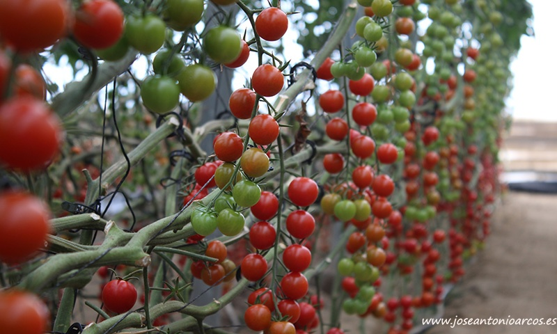 Nuevo tomate cherry Sabio de Clause. /joseantonioarcos.es