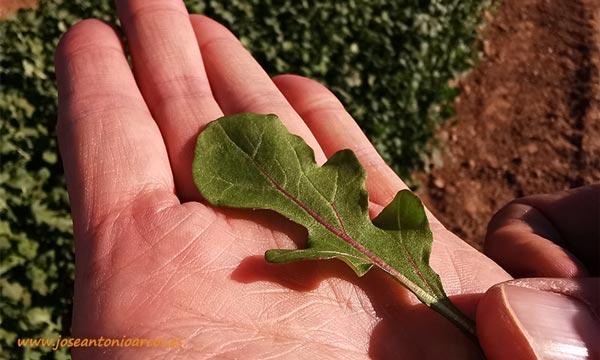 Rúcula cultivada de Vilmorin. /joseantonioarcos.es