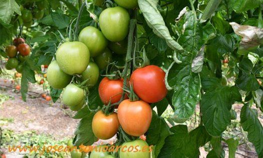Tomate pera oval Harrison de Clause-joseantonioarcos.es