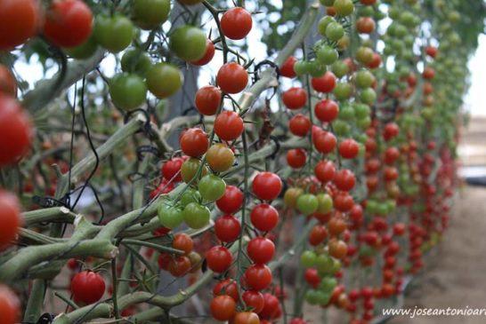 El mejor cherry de Clause