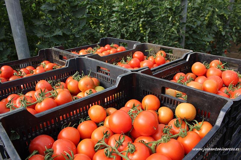 Cajas de tomate de Almería. /joseantonioarcos.es