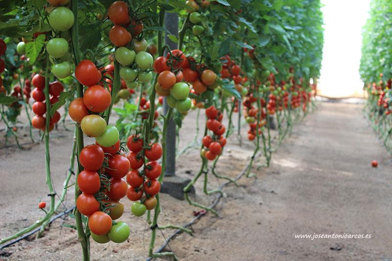 Tomates en Ruescas. Almería. /joseantonioarcos.es