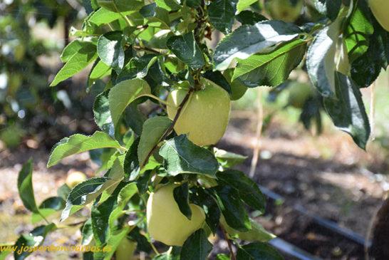 El coronavirus dispara las ventas de manzanas y peras