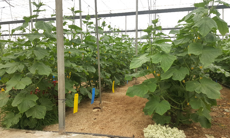 Pepino Tesoro de Nunhems, Basf Vegetables Seeds-joseantonioarcos.es