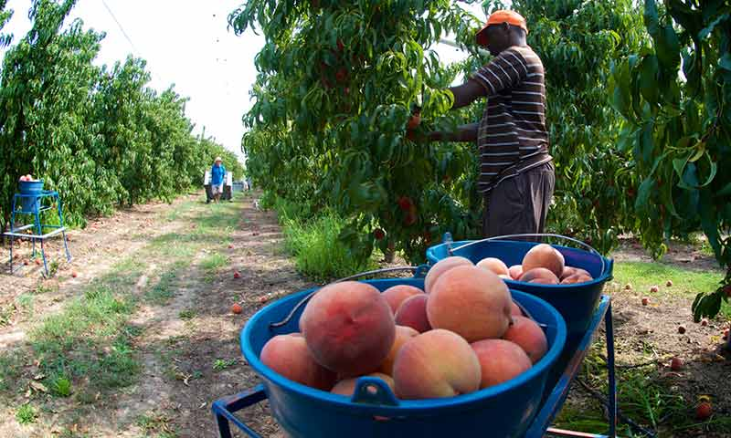 Trabajadores recolectando fruta de hueso en Cataluña. /joseantonioarcos.es