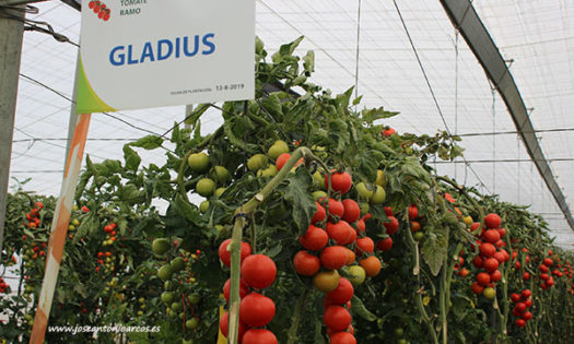 Tomate Gladius de Axia Semillas. /joseantonioarcos.es