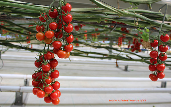 Tomate Deliquia de Rijk Zwaan. /joseantonioarcos.es