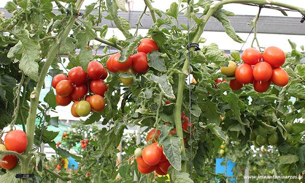 Tomate pera Romanza. /joseantonioarcos.es