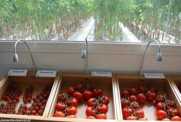 La mejora genética en tomate incorpora más resistencias a virosis