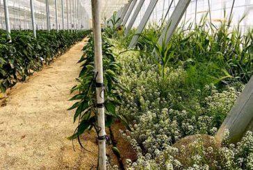 Parasitoides y plantas refugio claves para control biológico en pulgón