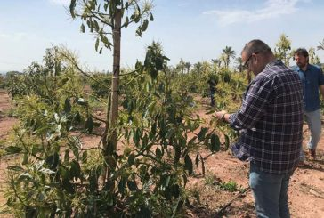 Ecoculture facilita el cultivo de aguacate en zonas emergentes como Castellón