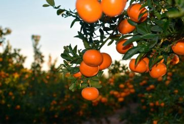 Mandarina Spring Sunshine crea su asociación de productores