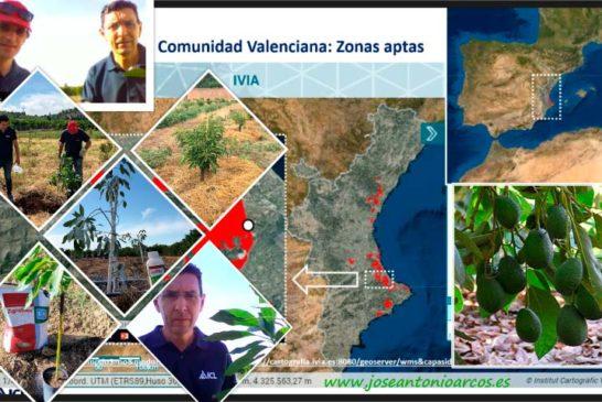 Ensayos de campo de aguacate en Valencia con ICL