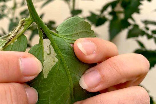 Nematodos beneficiosos contra orugas en pimiento y Tuta en tomate